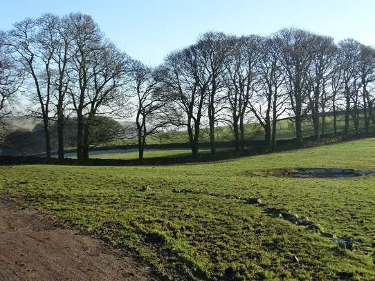 The line of trees at Ilam Tops Farm, Ilam, December 2016