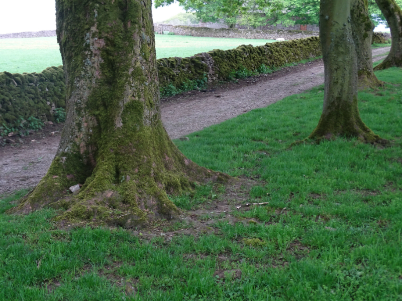The avenue of trees near Ilam Tops Farm where Ron discovers the collapsed Charles